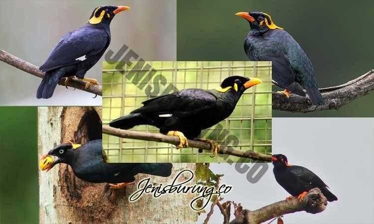 jenis burung beo, cara merawat burung beo, cara membedakan beo jantan dan betina, harga burung beo, makanan burung beo, cara melatih burung beo, perbedaan burung beo
