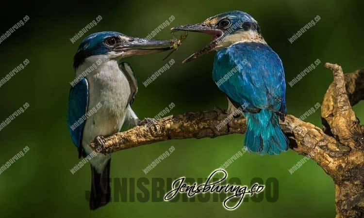 jenis burung cekakak, tengkek sungai, Collared Kingfisher, (Todiramphus Chloris), tengkek udang, makanan cekakak sungai, cekakak sungan jantan dan betina