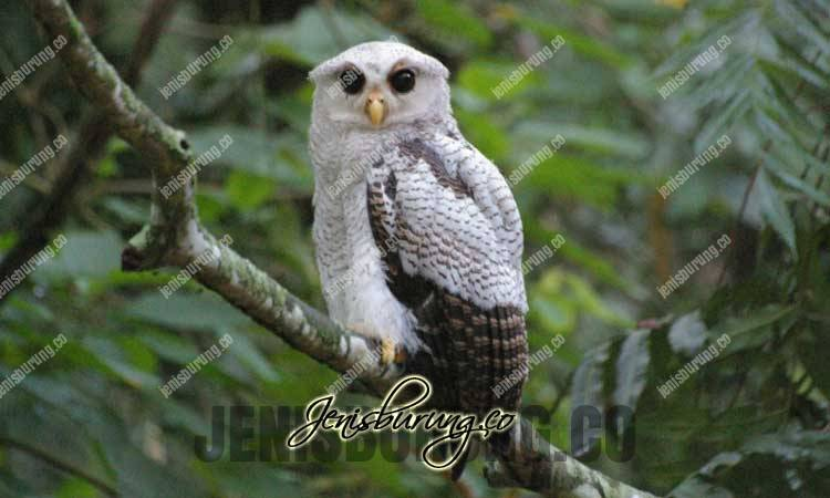 jenis burung hantu, beluk jampuk, barred eagle-owl, bubo Sumatranus, burung hantu hingkik, harga bubo sumatranus, bubo sumatranus, full skil, makanan bubo sumatranus, suara bubo sumatranus