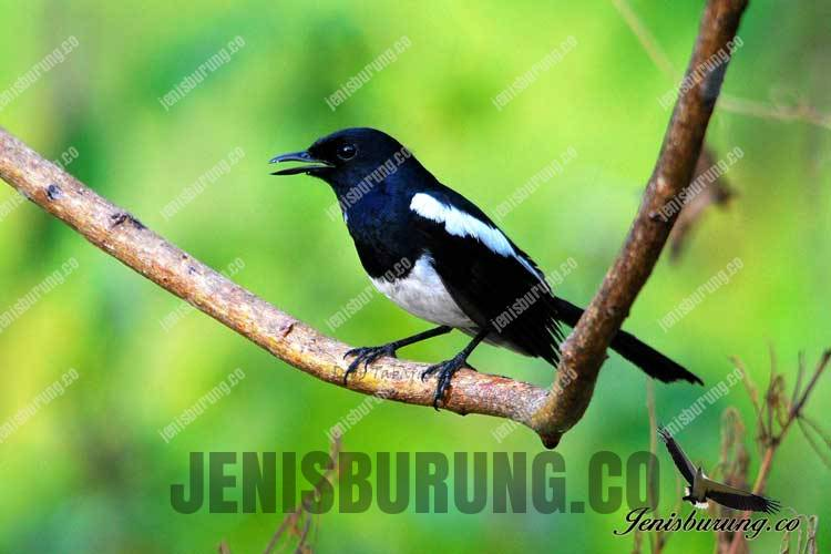 jenis burung kacer filipina Philippine Magpie robin Copsychus mindanensis