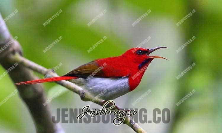 jenis burung kolibri, kolibri ekor-merah, Temminck's sunbird, Aethopyga temminckii, suara ekor-merah, ekor-merah gacor, makanan ekor-merah, burung -madu ekor-merah