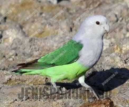 jenis burung lovebird madagaskar