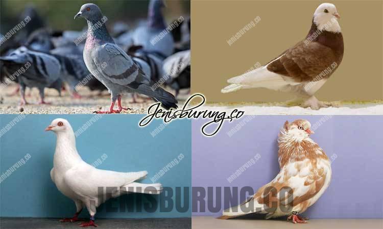 jenis burung merpati, jenis burung dara, cara merawat merpati, harga burung merpati