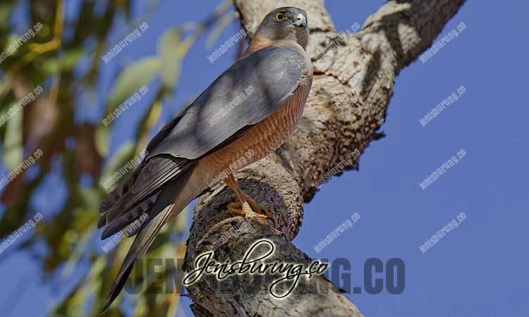 jenis burung pemangsa, alap-alap kalung, Collared Sparrowhawk, Accipiter cirrocephalus, harga alap-alap kalung, cara merawat alap-alap kalung, cara melatih alap-alap kalung