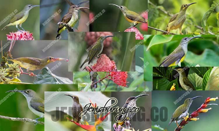 jenis burung pijantung, harga burung pijantung, merawat pijantung, makanan burung pijantung, burung pijantung gacor