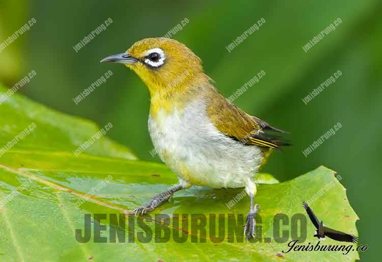 Jenis Burung Pleci Zosterops Auriventer