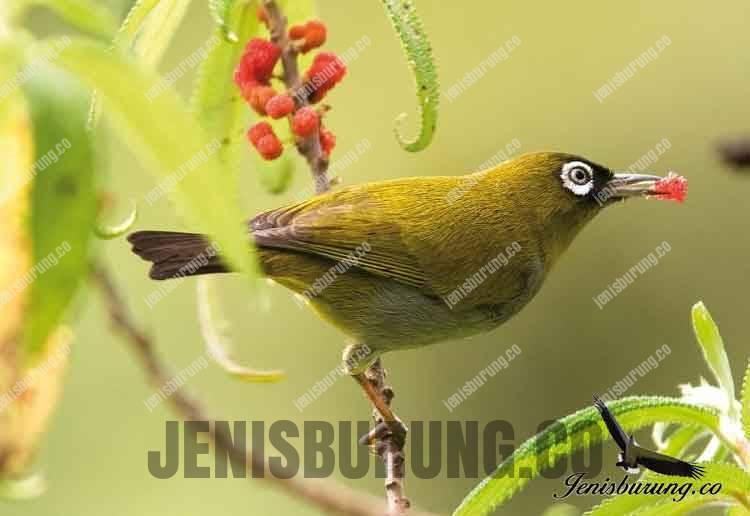 Jenis Burung Pleci Zosterops Black Capped