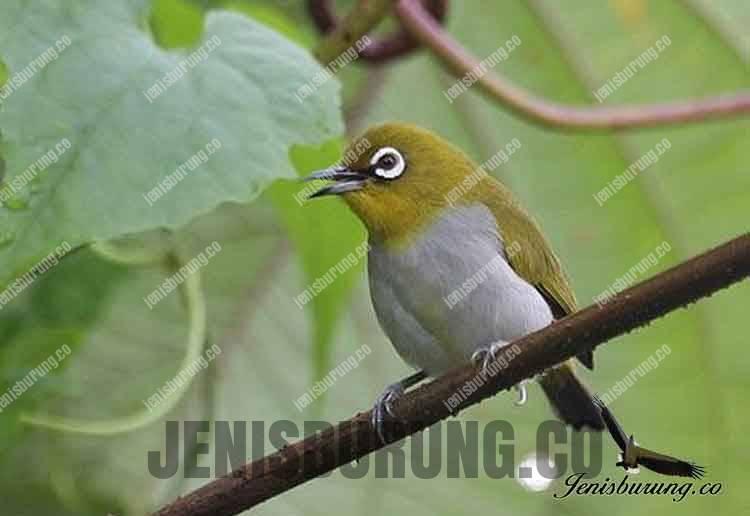 Jenis Burung Pleci Zosterops Salvadorii Enggano