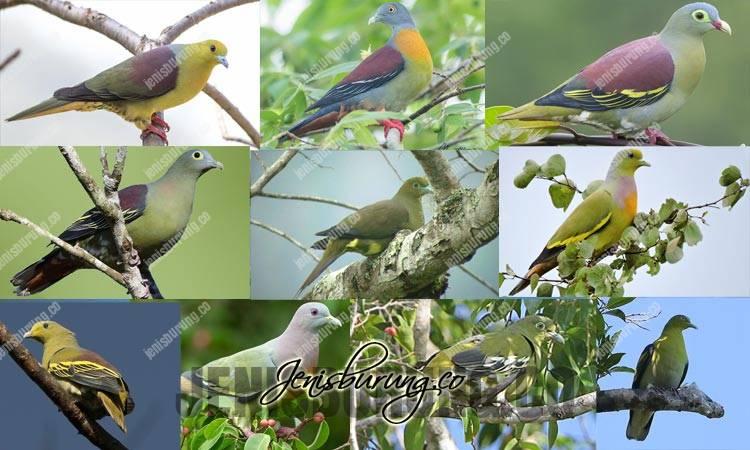jenis burung punai, burung punai, merawat burung punai, harga burung punai, suara burung punai, makanan burung punai