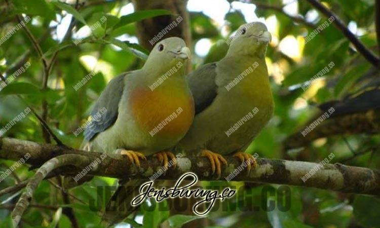 jenis burung punai, punai besar, large green-pigeon, treron capellei