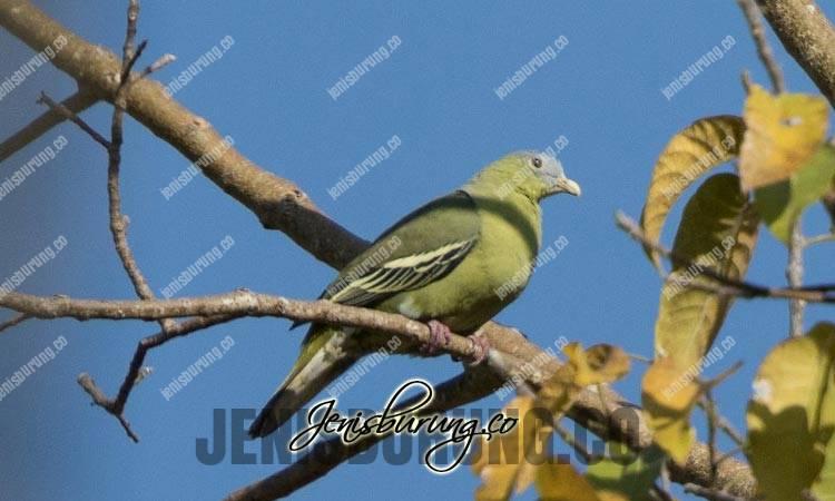 jenis burung punai, punai flores, flores green pigeon, treron floris