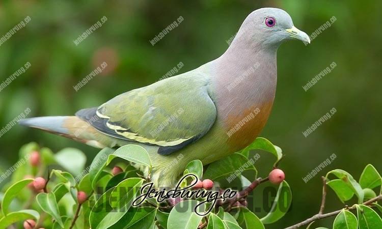 jenis burung punai, punai gading, pink-necked green-pigeon, treron vernans
