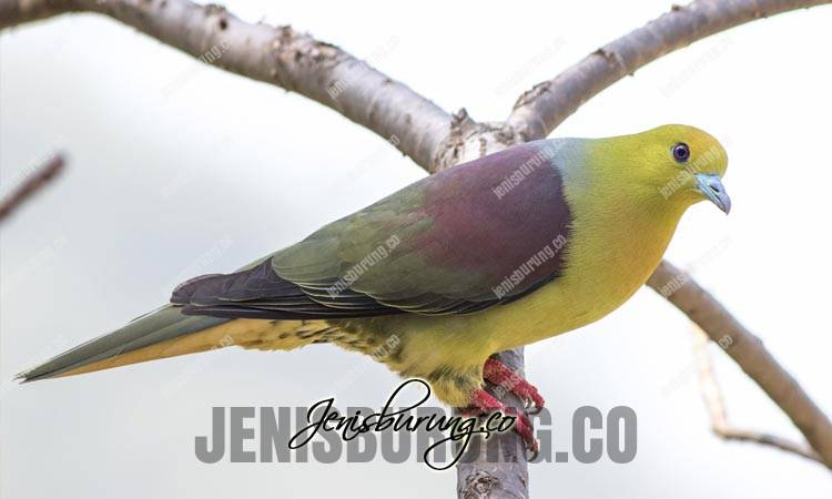 jenis burung punai, punai gagak, wedge-tailed green-pigeon, treron sphenurus