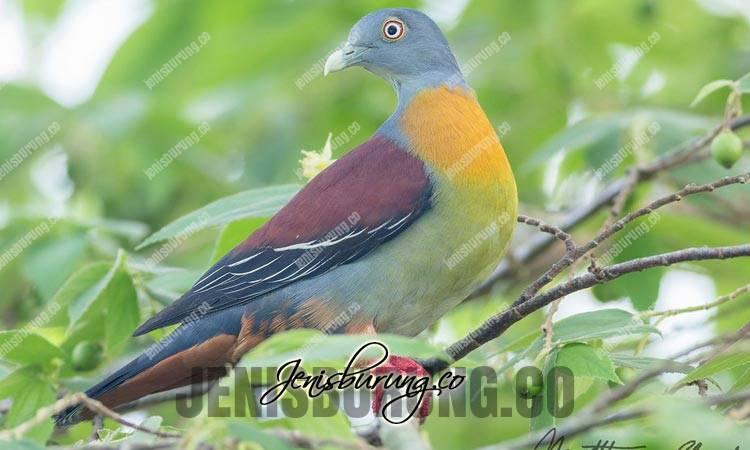 jenis burung punai, punai kecil, little green pigeon, treron olax