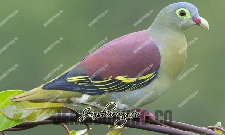 jenis burung punai, punai lengguak, thick-billed green-pigeon, treron curvirostra