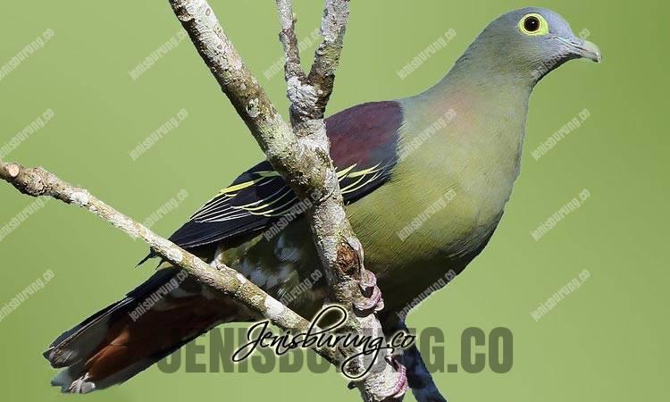 jenis burung punai, punai penganten, grey-cheeked green pigeon, treron griseicauda