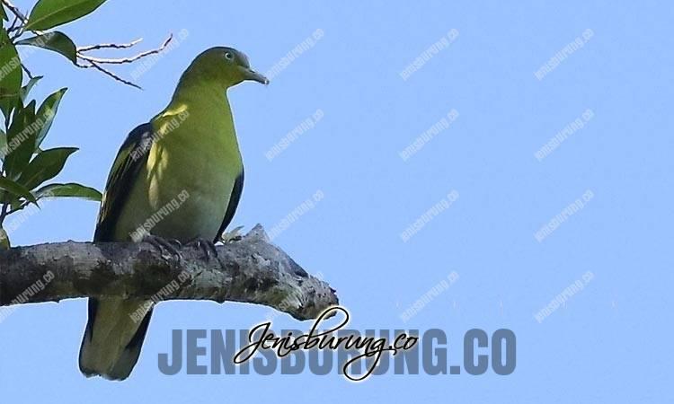 jenis burung punai, punai buru, punai pomadora, buru green pigeon, treron aromaticus