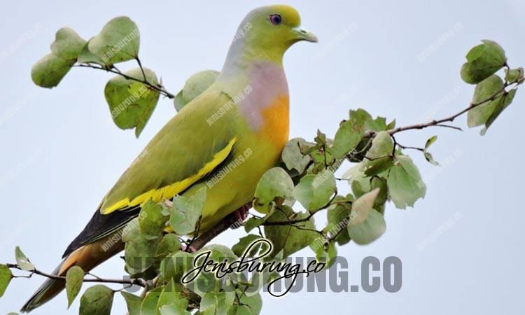 jenis burung punai, punai siam, orange-breasted green-pigeon, treron bicinctus
