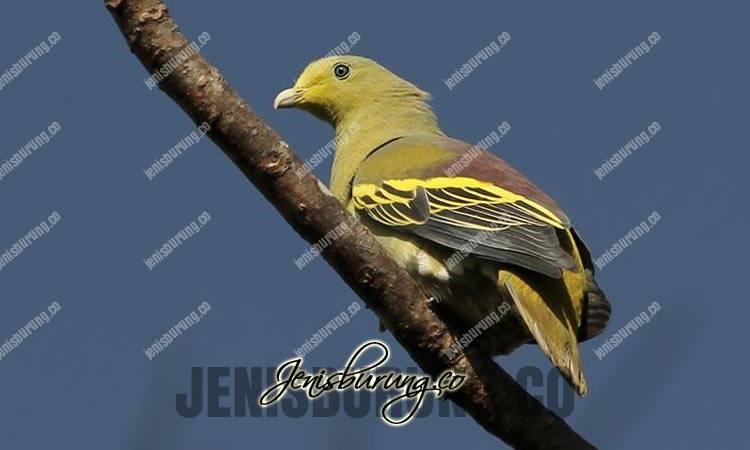 jenis burung punai, punai sumba, sumba green-pigeon, treron teysmannii