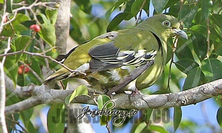 jenis burung punai, punai timor, timor green pigeon, treron psittaceus
