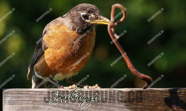 jenis cacing, macam-macam cacing untuk burung, manfaat cacing untuk burung, cara memberikan cacing pada burung, jenis cacing tanah, kandungan gizi cacing