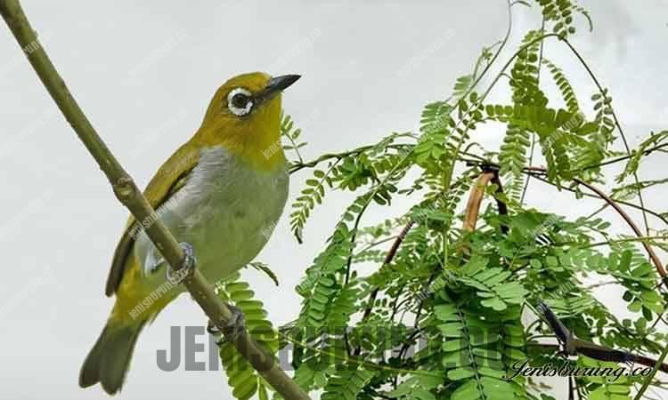 jenis daun saga dan khasiatnya untuk burung kicau