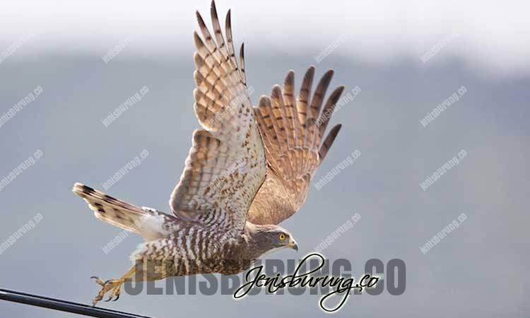 jenis elang, elang kelabu, harga elang kelabu, merawat elang, melatih elang, Grey-faced Buzzard, Butastur Indicus