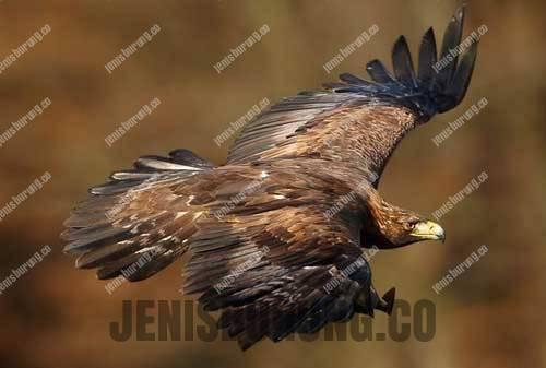 jenis elang golden eagle