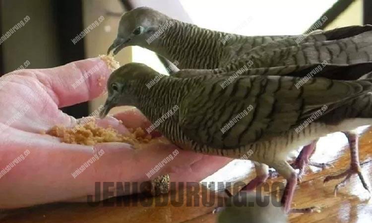 jenis makanan perkutut, makanan yang bagus untuk perkutut, perkutut cepat gacor dan rajin bunyi, perawatan harian burung perkutut