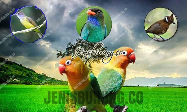 jenis masteran burung lovebird, cara memaster lovebird yang baik dan benar, agar masteran lovebird cepat masuk