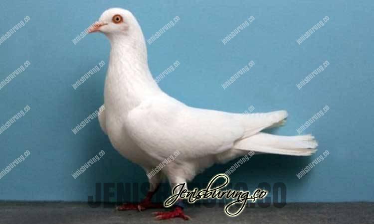 jenis merpati cumulet, cumulet pigeons, jenis burung merpati