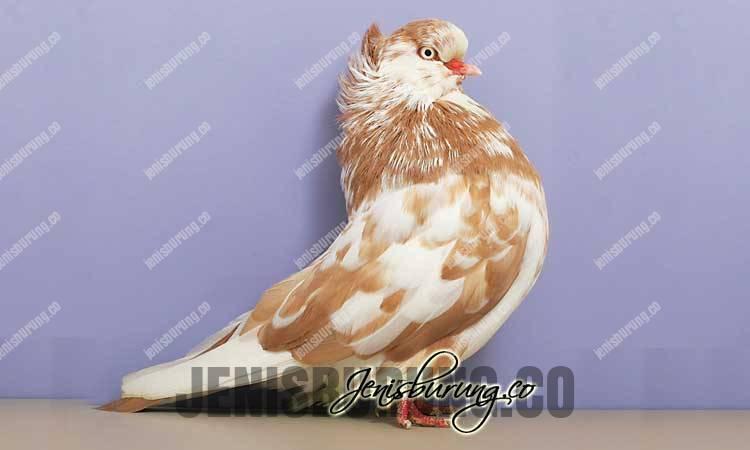 jenis merpati hias, jenis merpati flight, domestic flight pigeons, jenis burung merpati