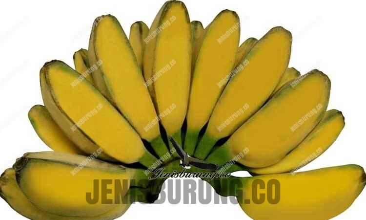 jenis pisang terbaik untuk pakan jalak putih