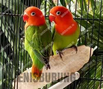 Jening burung lovebird biola