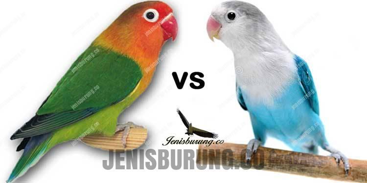 Lovebird Hybrid vs Non Hybrid, Lebih Prospek Mana?