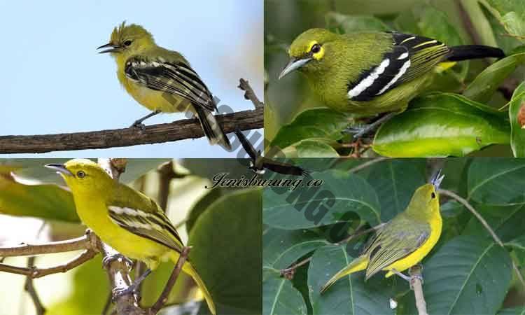 macam-macam jenis burung cipoh