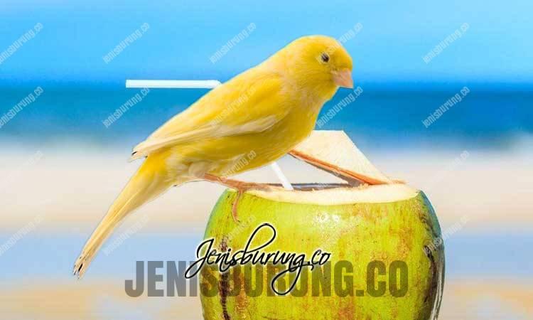 manfaat air kelapa untuk burung kenari, dampak negatif air kelapa untuk burung kicau, cara memberikan air kelapa pada burung, takaran air kelapa untuk burung