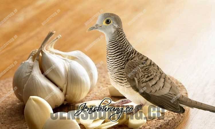 manfaat bawang putih, bawang putih untuk burung, cara memberikan bawang putih pada burung, racikan pakan dari bawang putih