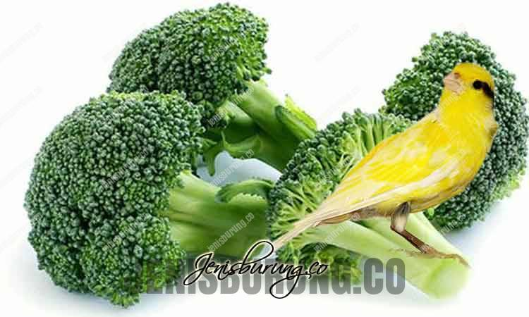 manfaat brokoli untuk kenari, manfaat brokoli untuk burung kicau, kandungan gizi brokoli, cara memberikan brokoli pada burung, racikan pakan kenari, agar kenari cepat gacor dan rajin bunyi