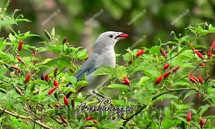 manfaat cabai, manfaat cabai untu kburung, manfaat cabe untuk kesehatan, kandungan cabai, racikan pakan burung dengan cabai, cara memberikan cabai pada burung