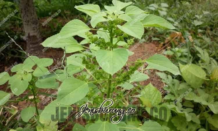 manfaat daun anting-anting, daun anting-anting untuk manusia, daun anting-anting untuk kesehatan, daun anting-anting untuk daun anting-anting untuk burung, cara mengatasi suara burung serak, metode perah pada burung