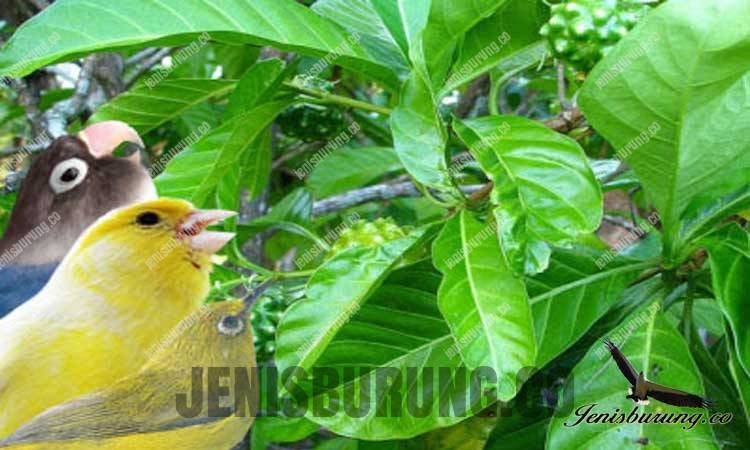 manfaat daun mengkudu untuk burung kicau
