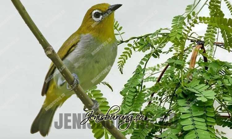 manfaat daun saga, manfaat daun saga untuk burung, manfaat daun saga untuk pleci, cara memberikan daun saga pada burung, pleci agar cepat gacor ngeplong