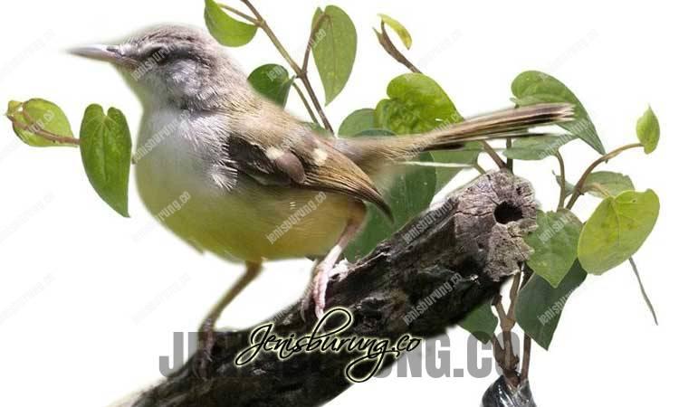manfaat daun sirih untuk burung, daun sirih untuk burung kicau, khasiat daun sirih untuk burung, cara memberikan daun sirih pada burung, dampak negatif daun sirih, kandungan daun sirih