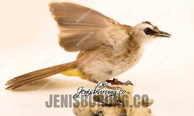 manfaat jahe untuk burung, manfaat jahe untuk trucukan, khasiat jahe untuk trucukan, dampak negatif jahe untuk burung, cara memeberikan jahe pada trucukan