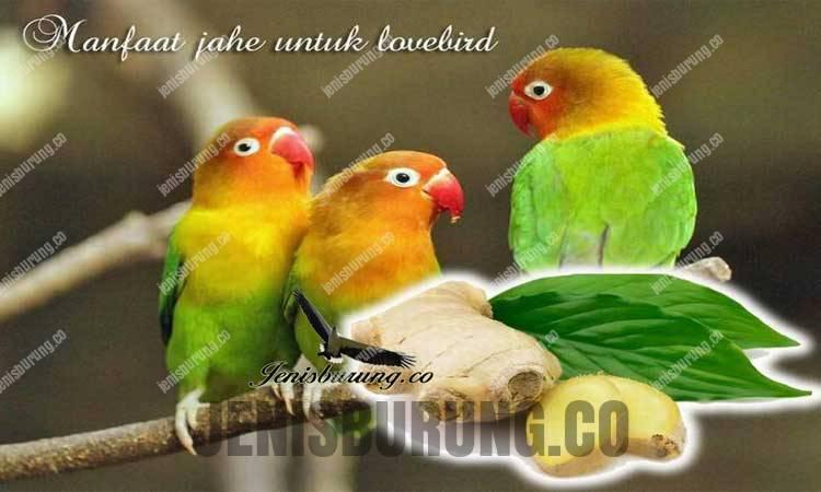manfaat jahe untuk lovebird
