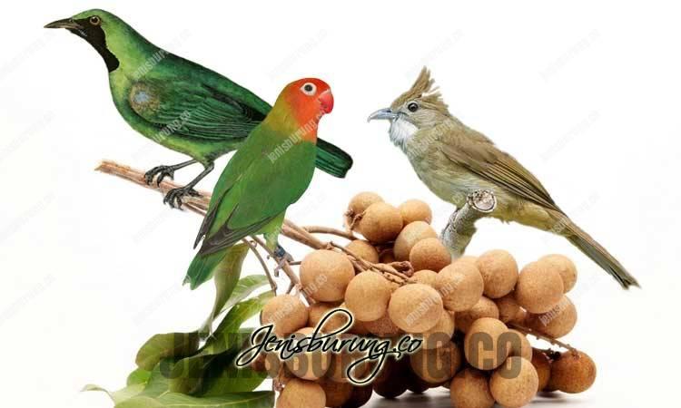 manfaat kelengkeng, manfaat buah kelengkeng, manfaat buah kelengkeng untuk burung, cara memberikan kelengkeng pada burung kicau, khasiat kelengkeng untuk burung, manfaat kelengkeng untuk kesehatan