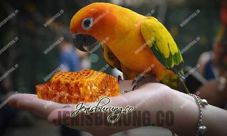 manfaat madu untuk burung, manfaat madu untuk kesehatan, jenis madu, kandungan madu, cara memberikan madu pada burung, khasiat madu, ramuan dengan madu, burung makan madu, burung pemakan madu