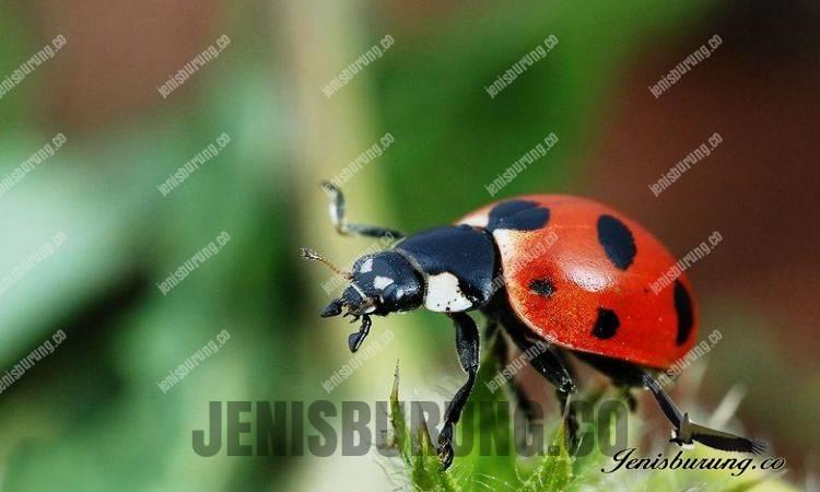 mengobati burung makan Kumbang koksi