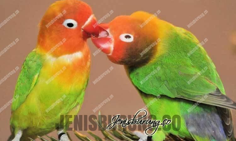 , bikin lovebird konslet